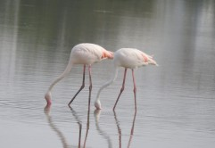 Greater Flamingo, Chennai